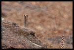 Couleuvre de Montpellier (femelle aux aguets)