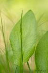 Ophioglosse commun (Ophioglossum vulgatum)