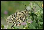 Machaon (Papilio machaon) fraichement sorti de son cocon