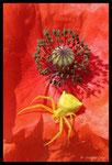 Thomise (Thomisus onustus) sur coquelicot dans l'attente d'une abeille
