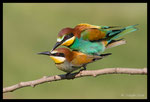 Accouplement de guêpiers d'Europe (Merops apiaster)