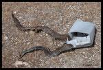 Couleuvre de Montpellier (mâle) piégée dans un bidon en plastique