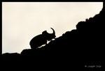 Scarabée rhinocéros européen (Oryctes nasicornis) mâle