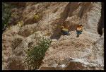 Guêpier d'Europe (Merops apiaster), La Fare Les Oliviers (13)