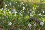 Narcisses des poètes (Narcissus poeticus)