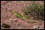 Couple de Lézards ocellés (Timon lepidus)
