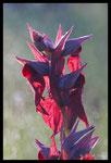 Sérapias en coeur (Serapias cordigera)