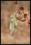 Naissance d'une Cigale plébéienne (Lyristes plebejus)