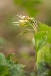 Consoude à bulbe (Symphytum bulbosum)