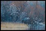 Dortoir de hérons garde-boeufs (Bubulcus ibis) sur l'étang des Aulnes (13)