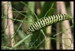 Chenille de Machaon (Papilio machaon)