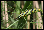 Chenille de Machaon (Papilio machaon)