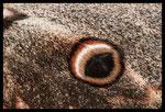 Aile de Grand paon de nuit (Saturnia pyri)