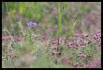 Bleuet (Centaurea cyanus) sur fond de Turgenia latifolia