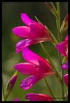 Glaïeul douteux (Gladiolus dubius)