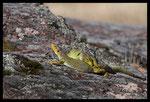 Accouplement de Lézards ocellés (Timon lepidus)