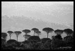 Pins parasols (Pinus pinea)