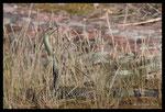 Couleuvre de Montpellier (mâle aux aguets)