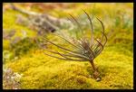 Pin parasol (Pinus pinea)