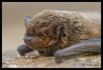 Noctule de Leisler (Nyctalus leisleri)