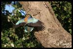 Rollier d'Europe (Coracias garrulus) au nourrissage