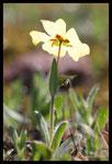 Héliantème à gouttes (Tuberaria guttata)