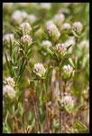 Trèfle de Boccone (Trifolium bocconei)