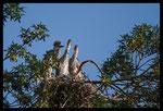 Jeunes Hérons cendrés (Ardea cinerea) au nid après le départ d'un adulte