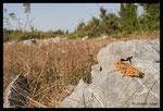Criquet hérisson (Prionotropis hystrix hystrix) en Croatie