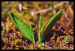 Ophioglosse des Açores (Ophioglossum azoricum)