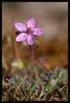 Erodium Bec-de-grue (Erodium cicutarium)