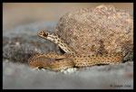 Jeune couleuvre de Montpellier (Malpolon monspessulanus)