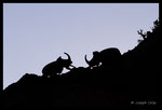 Scarabée rhinocéros européen (Oryctes nasicornis) mâles