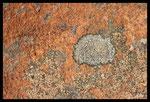 Lychen de Crau (plaine de la Crau, 13)