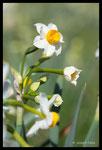 Narcisse tazette (Narcissus tazetta)