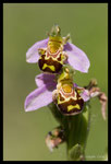 Ophrys abeille (Ophrys apifera)