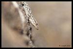 Jeune tarente de Maurétanie (Tarentola mauritanica) - Plaine des Maures (83)