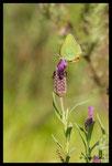 Thécla de l'Arbousier (Callophrys avis)
