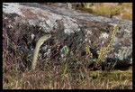 Couleuvre de Montpellier (Malpolon monspessulanus), mâle aux aguets