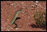 Couleuvre de Montpellier (Malpolon monspessulanus) mâle