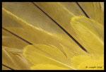 Plumes de Loriot d'Europe (Oriolus oriolus)
