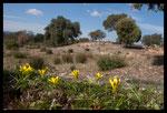 Gagée de bohème (Gagea bohemica saxatilis)