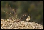 Pipit rousseline (Anthus campestris)