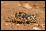 Criquet hérisson (Prionotropis hystrix azami)