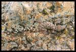 Hémidactyle verruqueux (Hemidactylus turcicus) - Mais où est-il ?