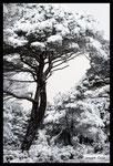 Pins parasols sous la neige (plaine des Maures)