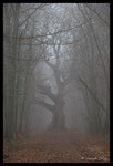 Le grand chêne (Quercus sp.)