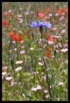 Bleuet (Centaurea cyanus) et autres messicoles