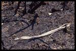 Mue de Couleuvre de Montpellier adulte juste après l'incendie de 2003 dans le massif des Maures