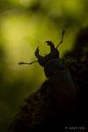 Lucane cerf-volant (Lucanus cervus) mâle